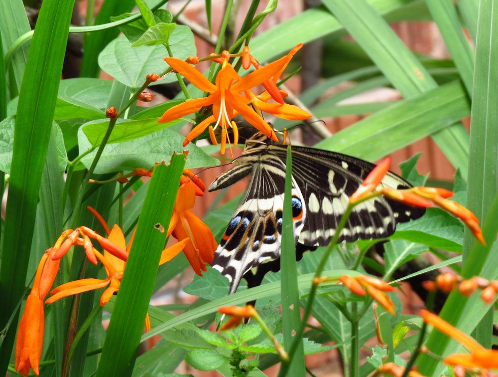 r-butterfly-crocosmia